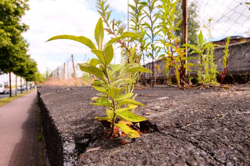 Green Plant. Growing Trough Cracked Asphalt Floor royalty free stock photos