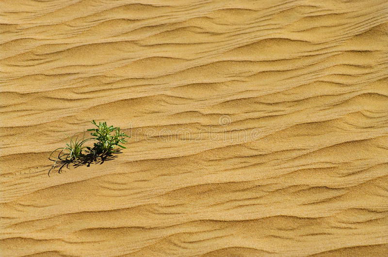 Green Plant Grow Through Sand Royalty Free Stock Photography