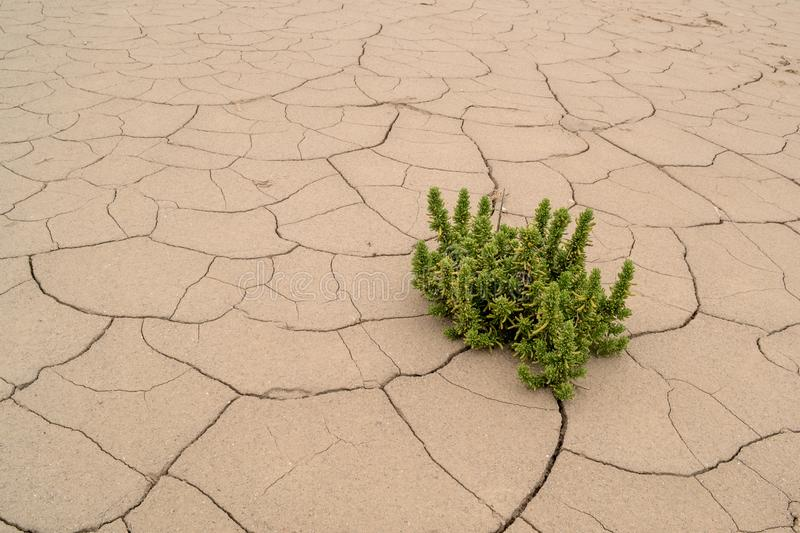 Green plant growing on dry cracked earth. Green plant growing in the desert on dry cracked earth, atacama desert Chile royalty free stock image