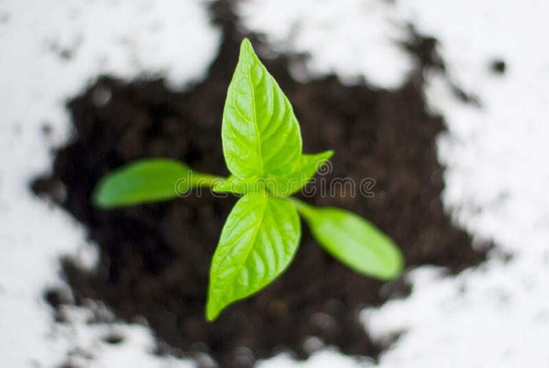 Green plant growing in soil stock photo
