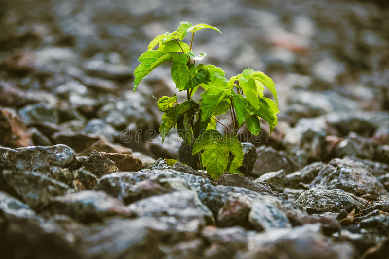 Green plant grows from under the stones. Close-up, macro. Copy space. Concept life stock photography
