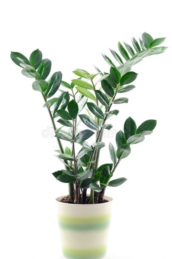 Free Green Plant In A Pot Isolated On White Royalty Free Stock Photography - 7813997