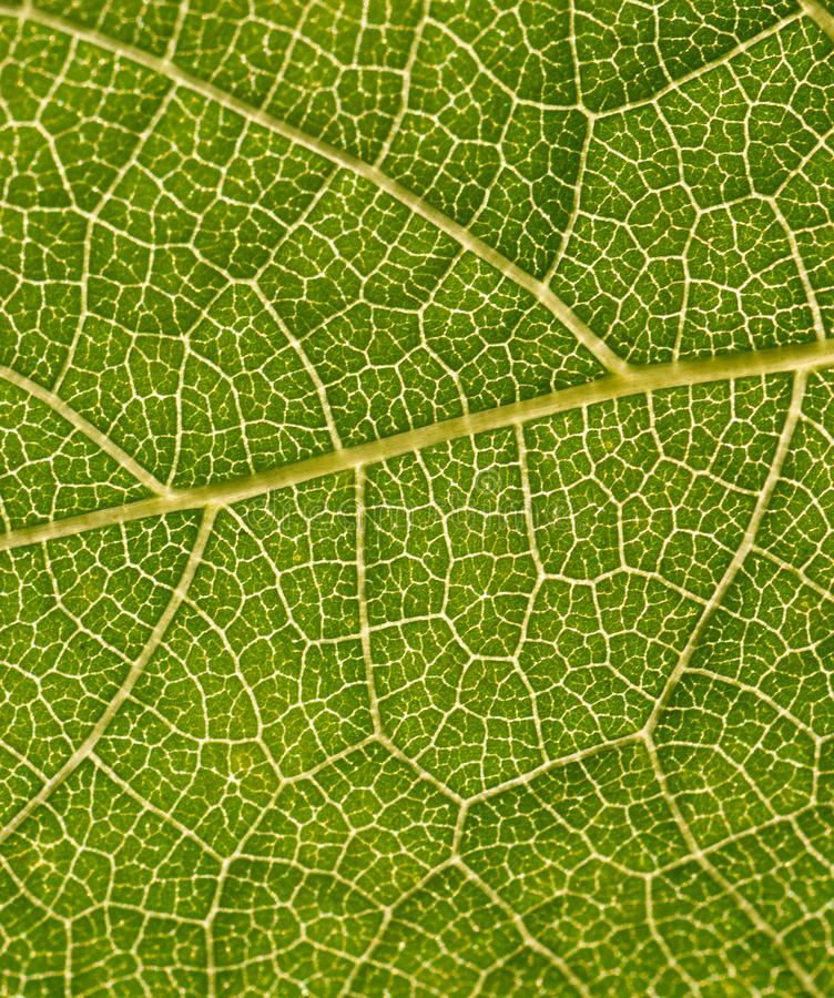 Download Green Plant Leaf Part Extreme Closeup Stock Photo - Image: 24842804