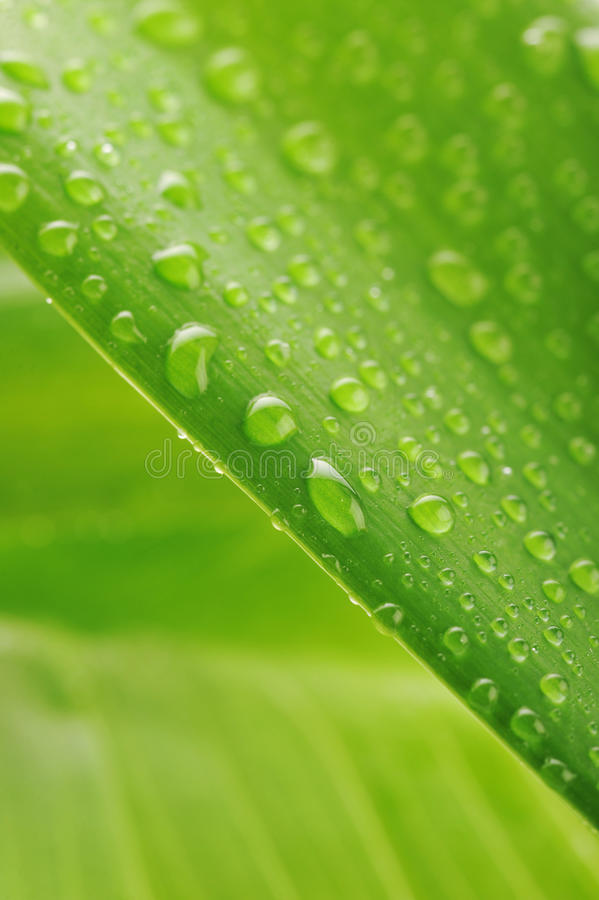 Download Green Plant Leaf With Water Drops Royalty Free Stock Images - Image: 12078389