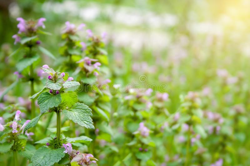 Green plant with lilac flowers against a blurred background of a sunny meadow of the same plants royalty free stock image