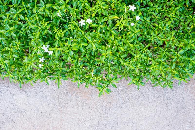 Green plant with little flowers on the floor, texture concrete, royalty free stock image