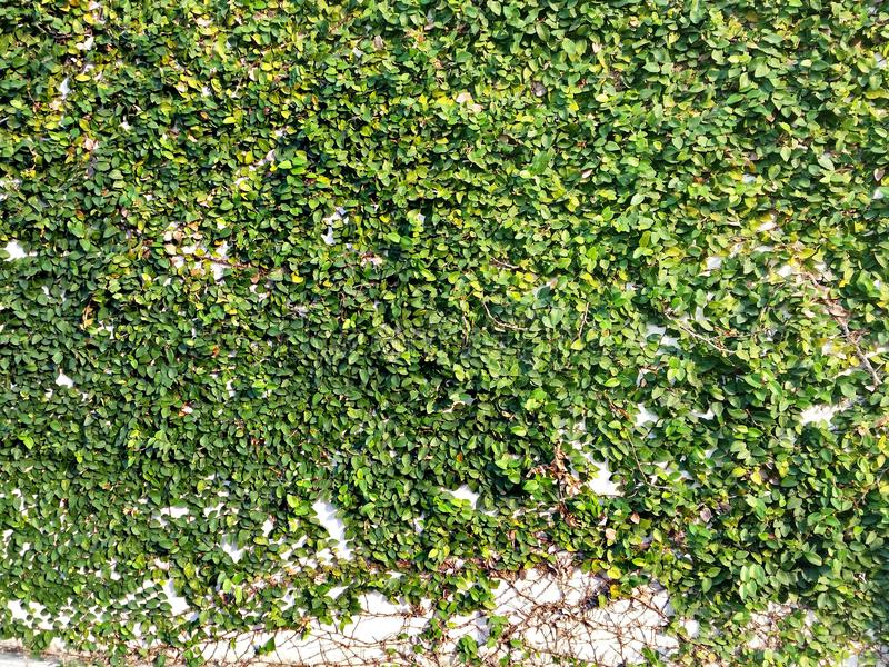 Natural grass wall texture royalty free stock images