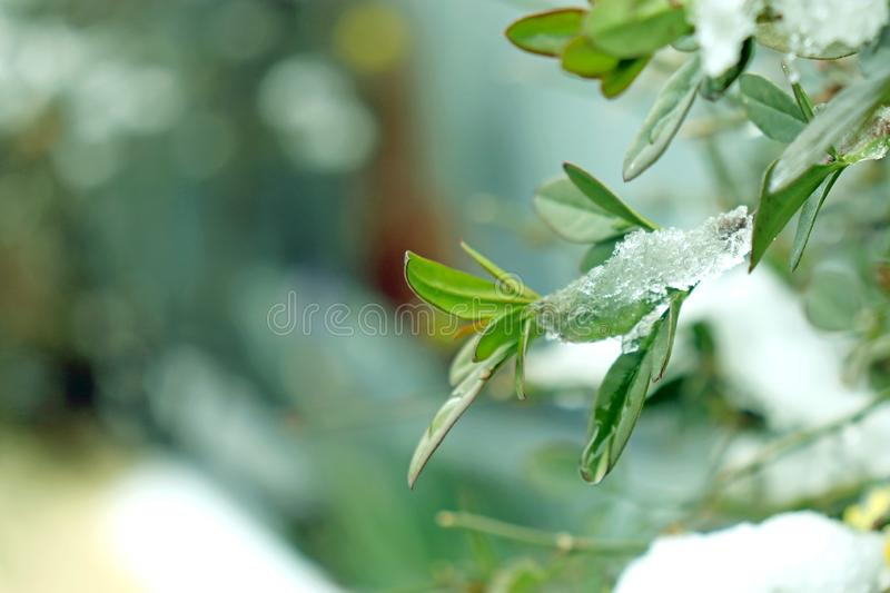 Green plant overlaid with snow. Use for Beautiful Natural morning background or wallpaper. Natural greeny background stock image