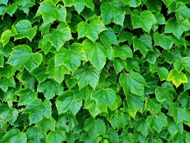 Green plant, Plant wall with lush green color nature background, Natural green leaf wall, Texture background stock photos