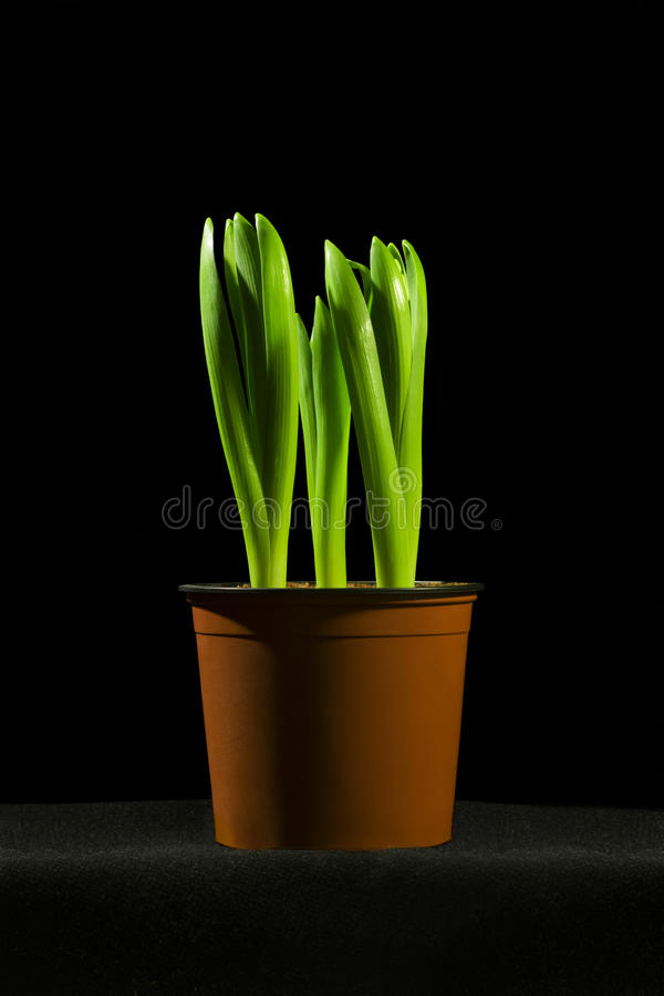 Green plant in pot on black background royalty free stock photos