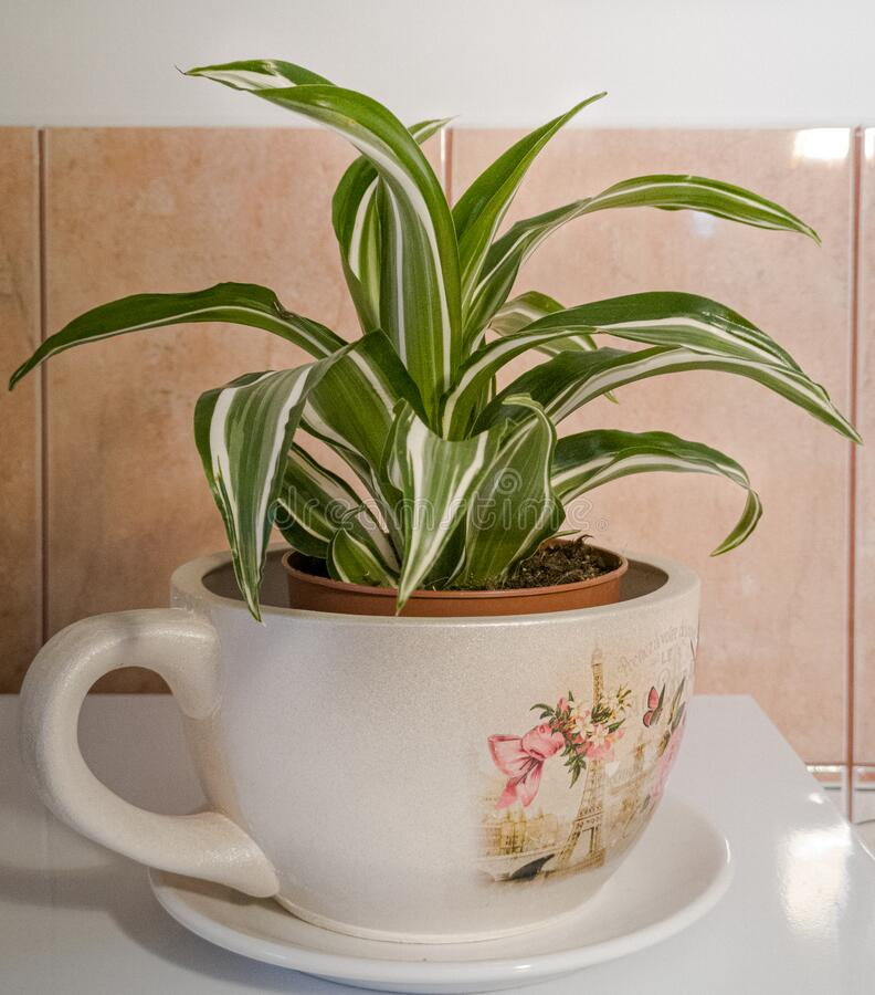 Green plant in pot. green leaf. Green plant in a pot. Green leaf. Yellow tent. Plant royalty free stock images