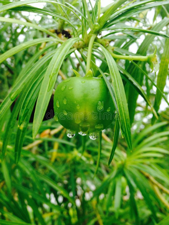 Green plant and raindrop royalty free stock images