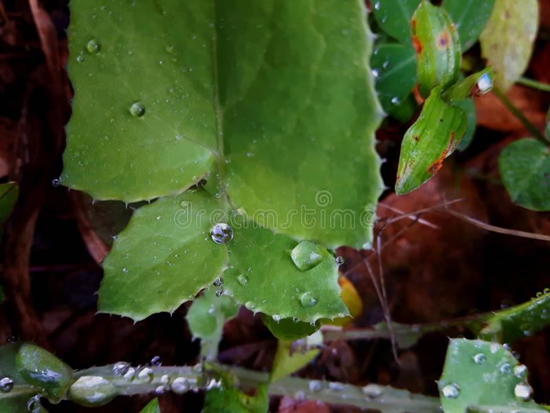 Green plant with raindrops. In the middle of its leaves there is one drop that seems a pearl. Leaf details royalty free stock photography