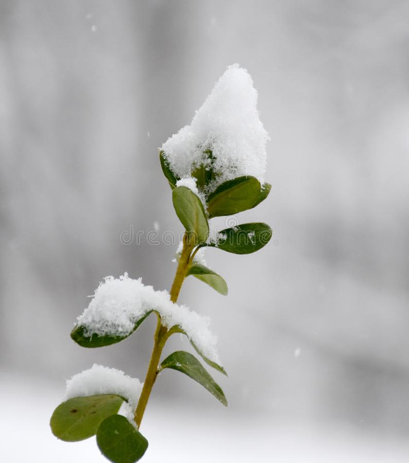 Green plant in snow royalty free stock photo
