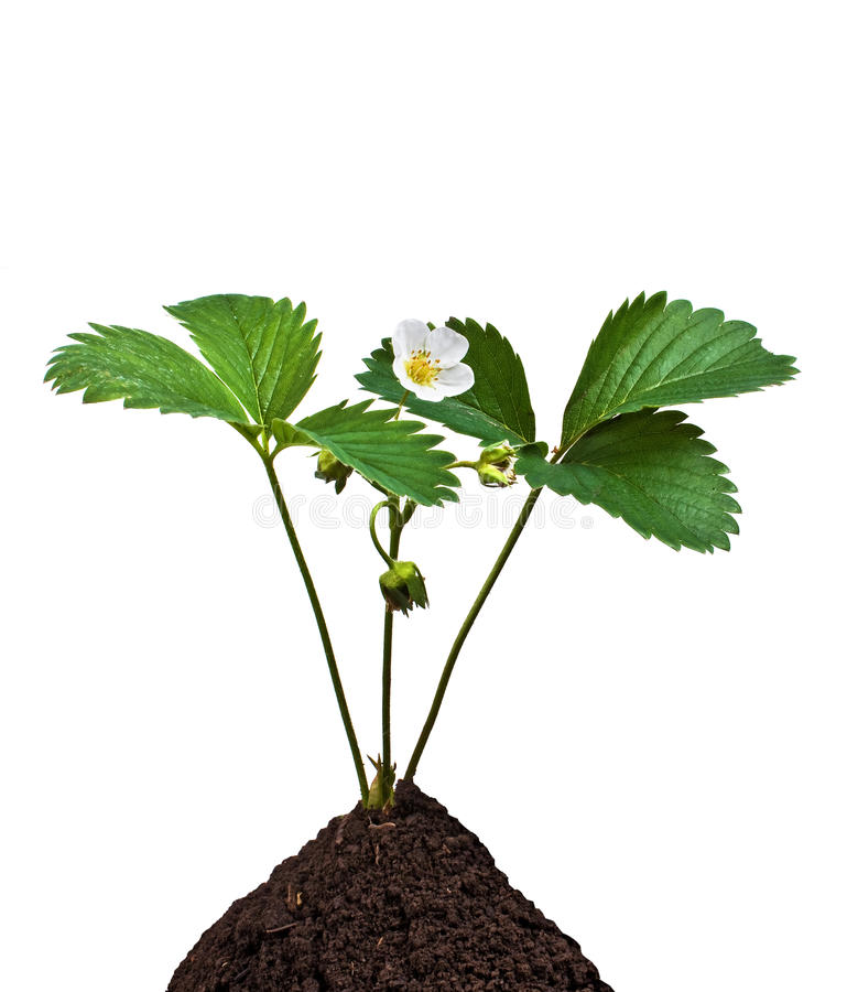 Green plant in the soil. On the white background stock photo