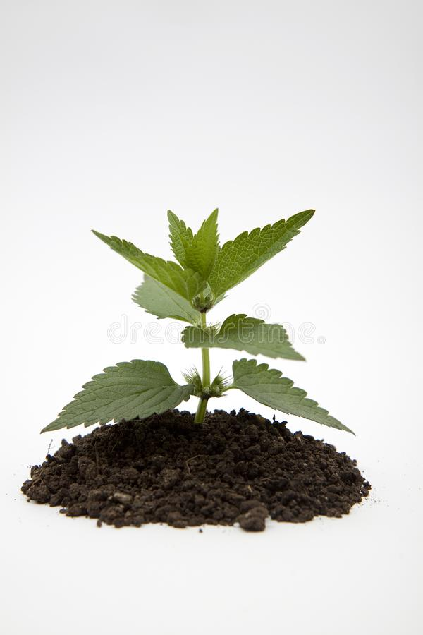 Green plant in soil royalty free stock image