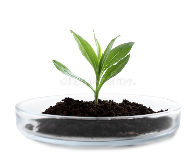 Green plant with soil in Petri dish isolated. On white. Biological chemistry stock photo