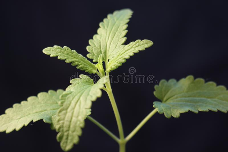 Green plant sprout growing germinating from seed springtime summer wonderful nature isolated on black. Plant growing isolated on white timelapse royalty free stock photo