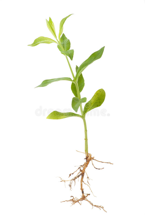 Green plant sprout phlox. Green plant sprout , isolated on white royalty free stock photo