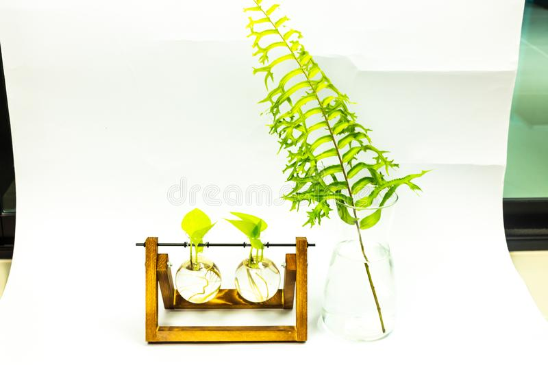 Green plant in the water pot   on white background.  stock image