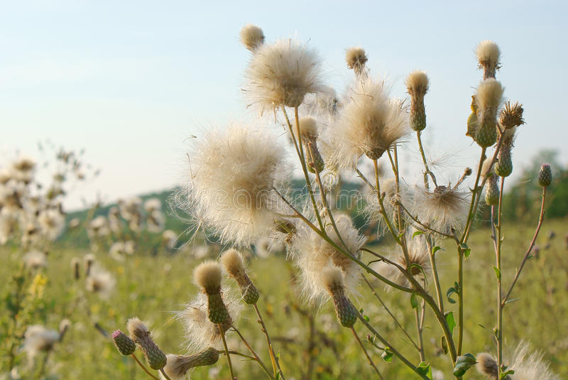 Green plant with white fluffy seeds outdoors stock images