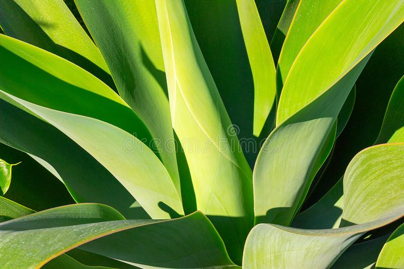 Green plant yucca or Tree of Life captured very closely,  close up. In Namibia royalty free stock photo