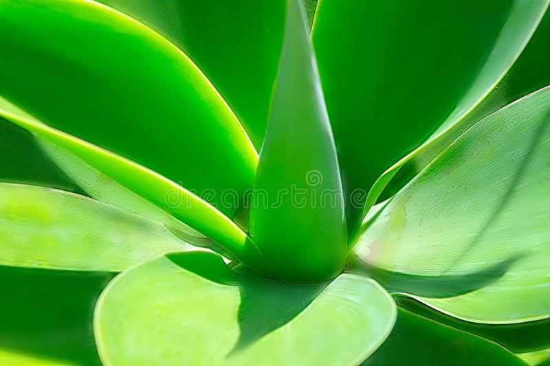 Green plant yucca or Tree of Life captured very closely,  close up in Namibia. Africa stock photo