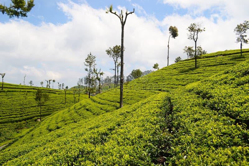 Green plantation of Ceylon tea royalty free stock photos