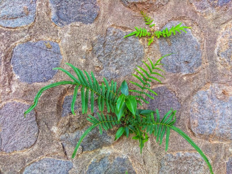 Green plants that grow on the surface of the wall made of stone. This plant survives in a low water environment stock images