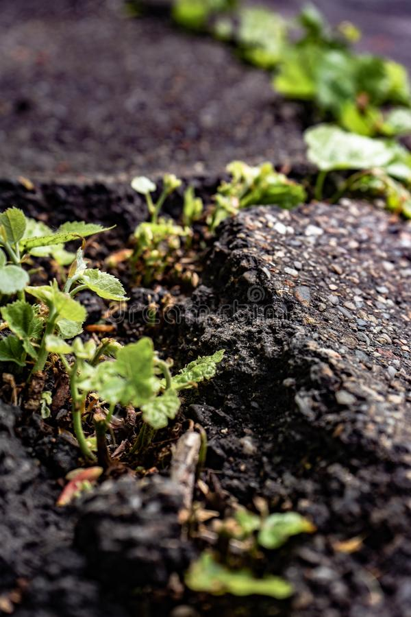 Green plants growing in asphalt, power of nature. Green plants growing from crack in asphalt on road, small green plants grows through asphalt ground, power of royalty free stock image