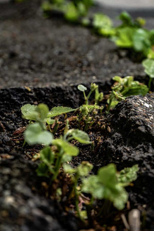 Green plants growing in asphalt, power of nature. Green plants growing from crack in asphalt on road, small green plants grows through asphalt ground, power of stock photos