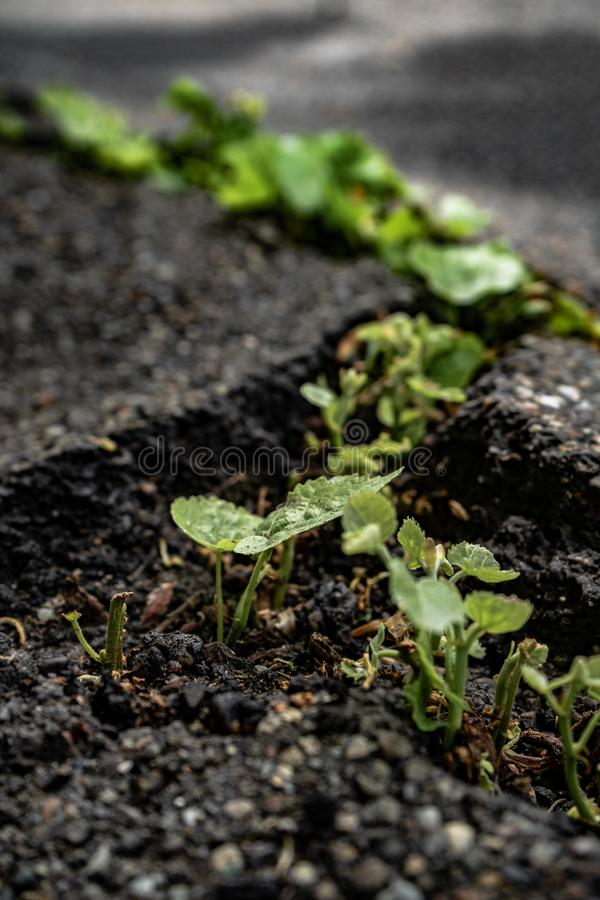 Green plants growing in asphalt, power of nature. Green plants growing from crack in asphalt on road, small green plants grows through asphalt ground, power of royalty free stock photo