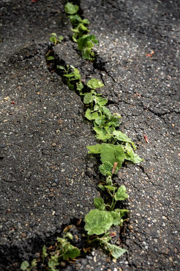 Green plants growing in asphalt, power of nature. Green plants growing from crack in asphalt on road, small green plants grows through asphalt ground, power of royalty free stock images