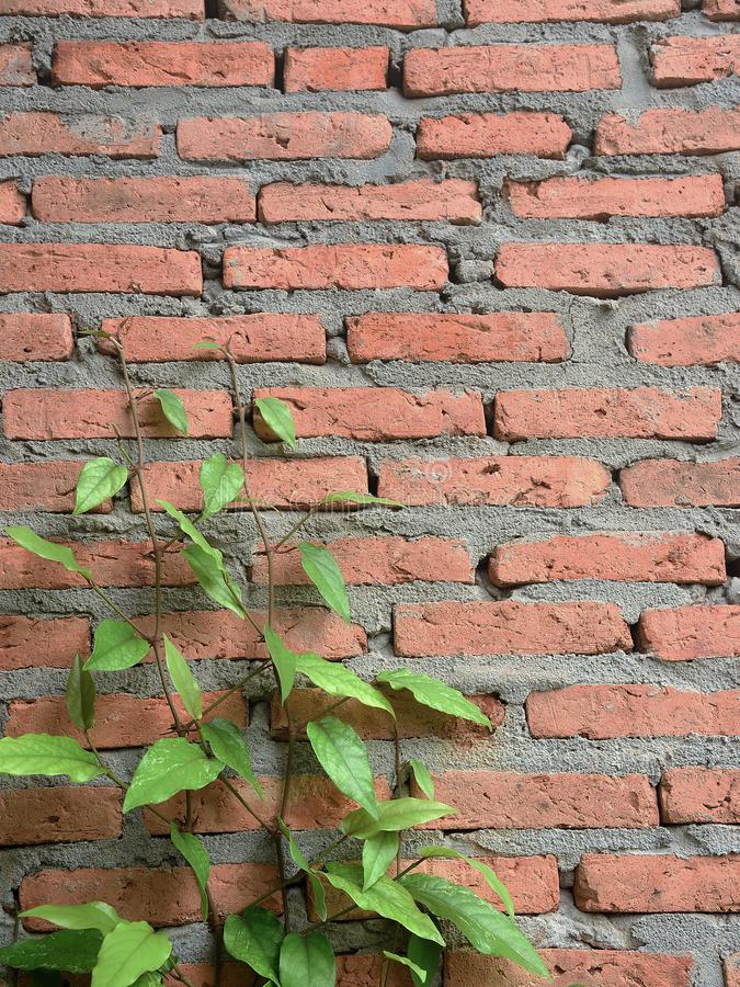 Green plants leaves on brick wall. royalty free stock photography