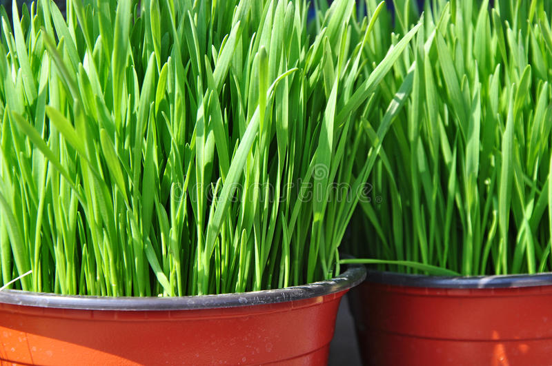 Green plants potted royalty free stock image