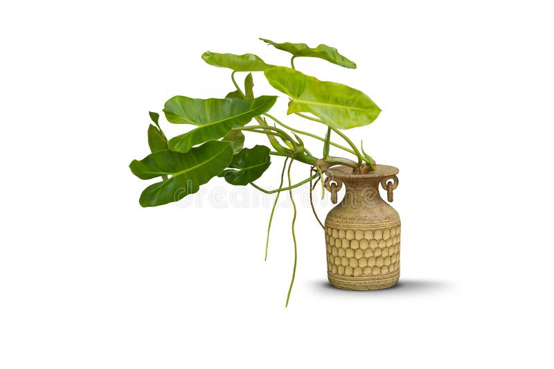 Green plants in pottery clay vase isolated on white royalty free stock image