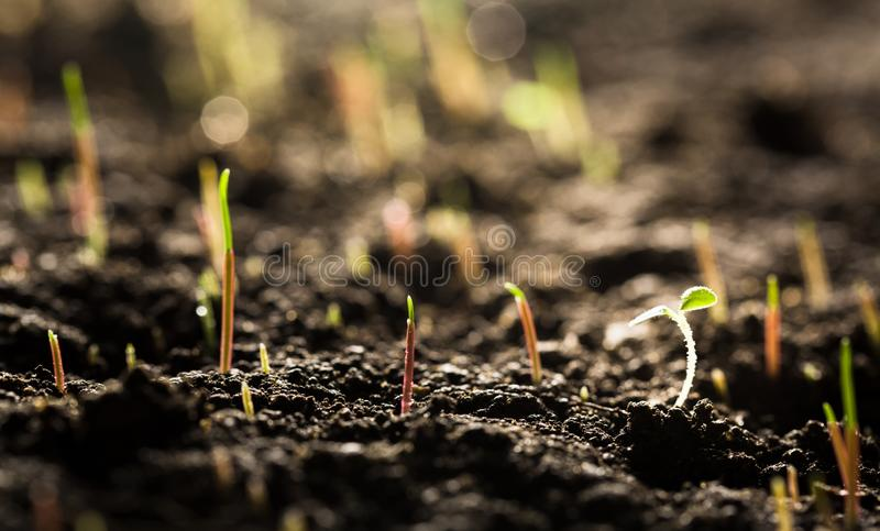 Green plants in soil close-up view royalty free stock image