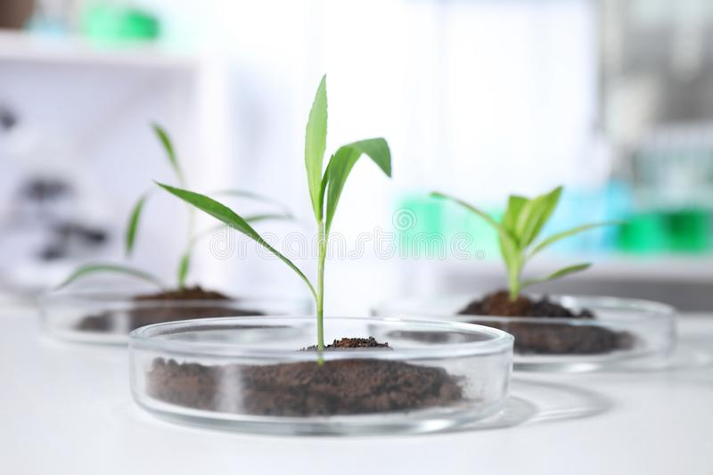 Green plants with soil in Petri dishes on table in laboratory. Biological. Chemistry stock image