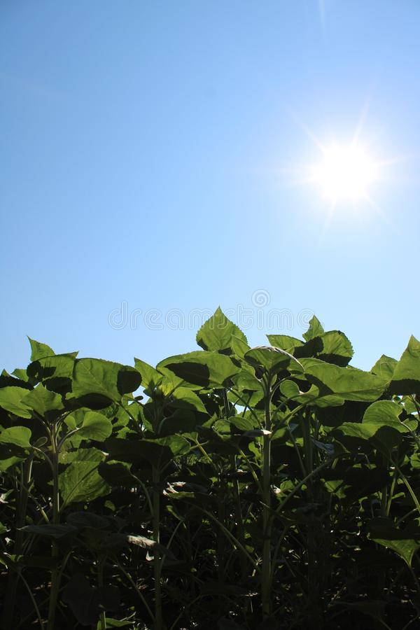 Green plants and the Sun royalty free stock image