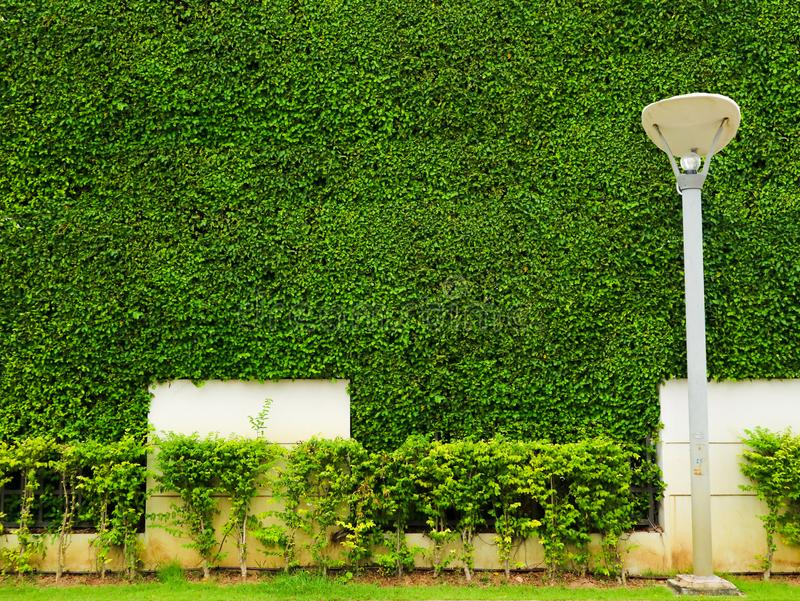 Green plants of wall nature and white concrete and lantern pilla in garden. Green plants of wall nature and white concrete and lantern pilla in the garden royalty free stock photos
