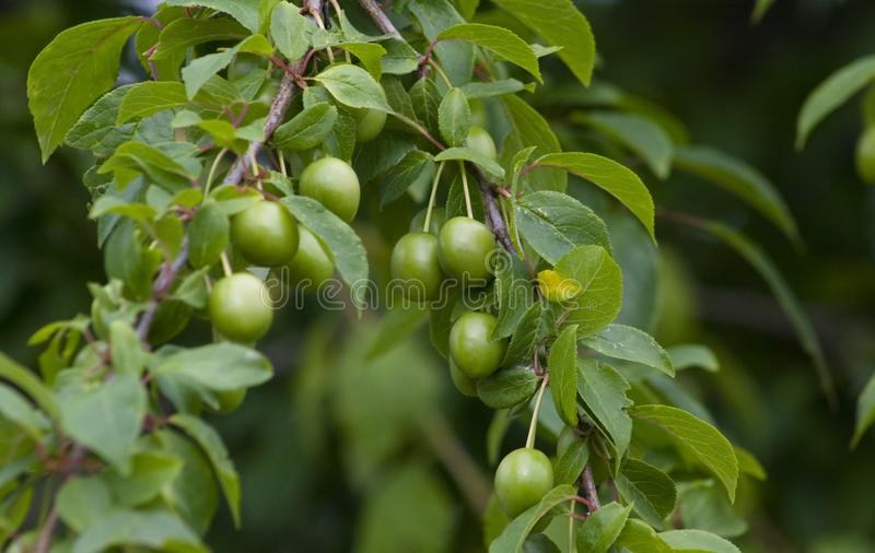 Green Plum Stock Image Image Of Nature Green Plum Leaf