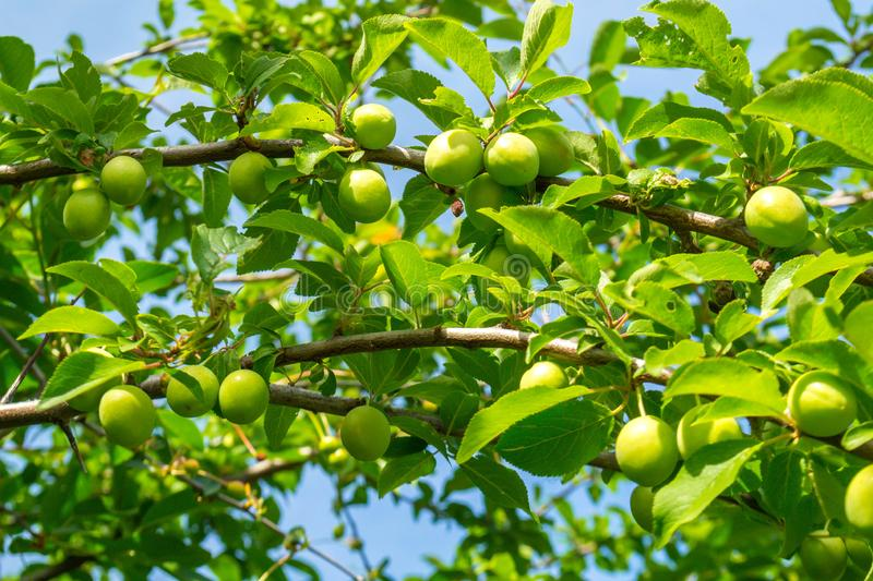 Green plum. On the tree in the garden, plums, fruit, background, organic, food, summer, healthy, fresh, natural, ume, nature, sweet, agriculture, white, closeup royalty free stock photography
