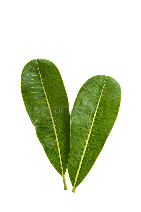 Green plumeria leaf isolated. On white background royalty free stock images