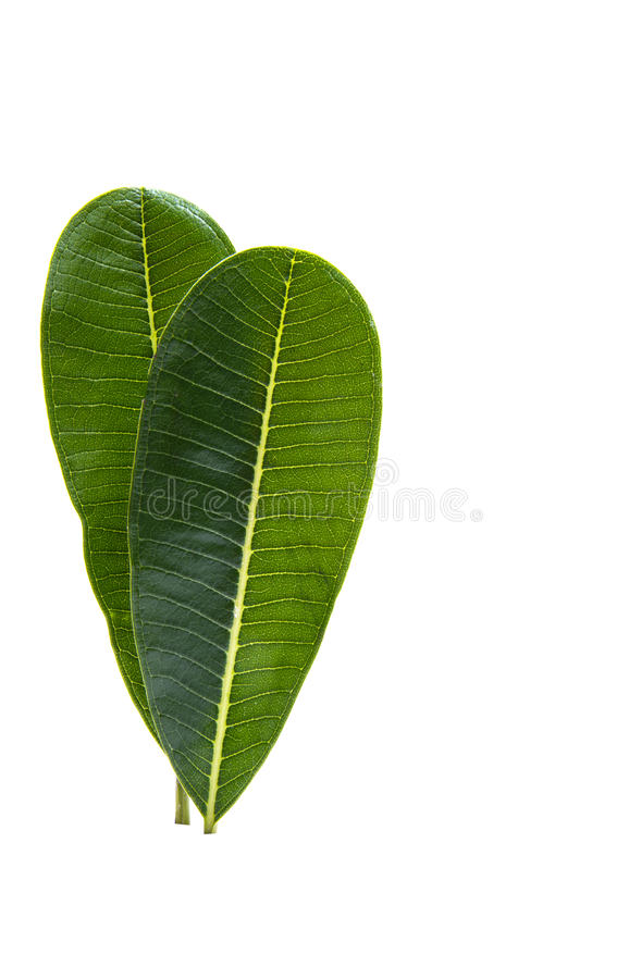 Green plumeria leaf isolated royalty free stock image