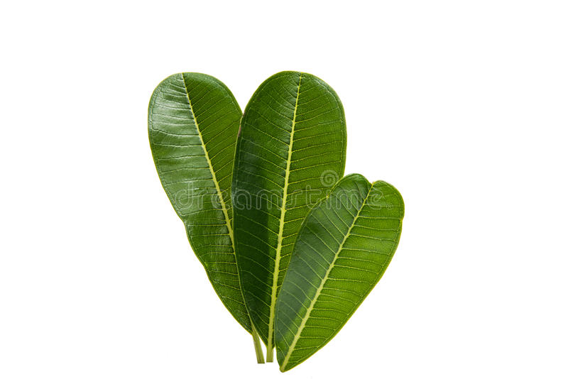 Green plumeria leaf isolated stock photography