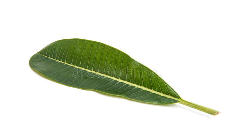 Green plumeria leaf isolated. On white background stock images