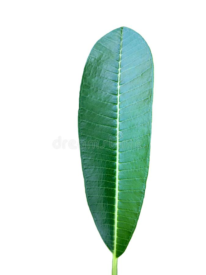 Green plumeria leaf isolated on white background. royalty free stock images