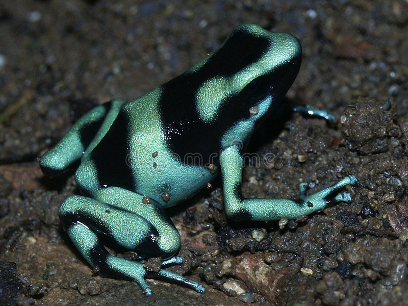 Green Poison-arrow Frog royalty free stock images