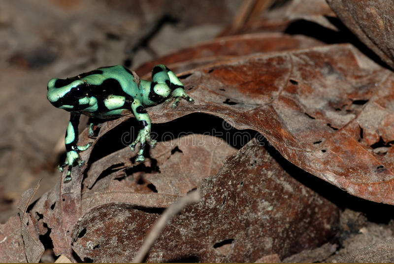 Download Green Poison Dart Frog In Costa Rica Stock Photo - Image: 12537698