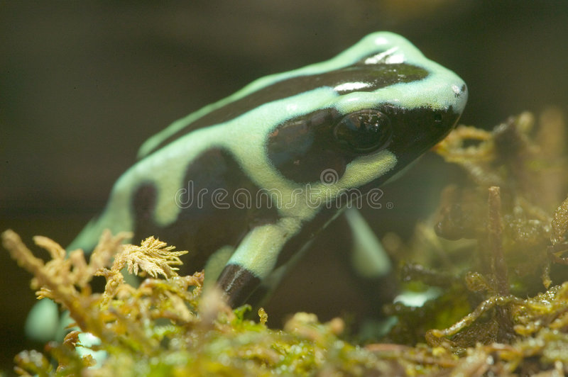 Green Poison Dart Frog - Green Poison Arrow Frog - Dendrobates a. The poison dart frog, poison arrow frog, dart frog or poison frog, is the common name given to royalty free stock photo